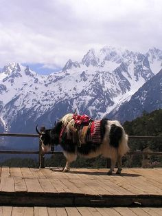 wherever this yak creature is...