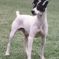 As you can tell from its name, the Buzzard Bodeguero Andaluz is a dog that was used in the Andalusian bodegas (more specifically in the Jerez cellars). Parsons Terrier, Female Dog Names, Toy Fox Terriers, Jack Russell Terrier, New Puppy, Boston Terrier, Pitbulls, Dog Cat, Puppies