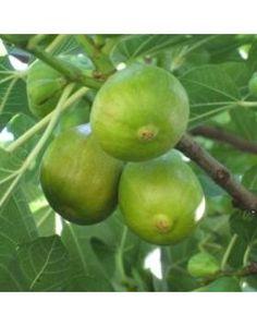 Ficus carica 'Zöld óriás' - Füge Ficus, Love The Earth, Fig Tree, Photos, Herbs, Nature, Gardens, Bing Images, Youtube