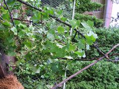 Cucumbers growing on atrellis