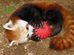 Red Panda playing with a Kong toy