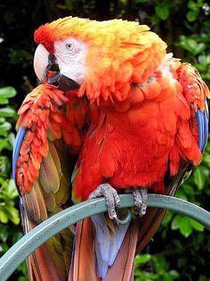 Su distribución comprende desde las selvas del Darién en Panamá hasta el norte de Argentina.