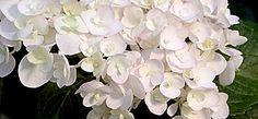 Hortensie - Hydrangea macrophylla 'Endless Summer'