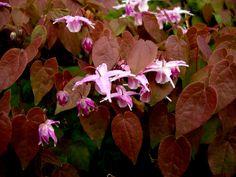 Epimedium grandiflorum var. violaceum, chocolate leaves in the spring.