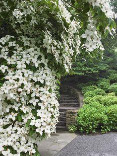 White Hybrid clematis allowed to grow wild in a tree -  Edmund D. Hollander