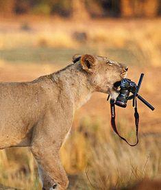Lioness steals Ed Hetherington's camera