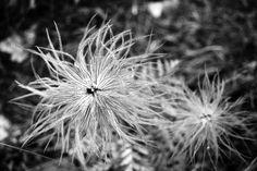 Flower - Crêt de la neige