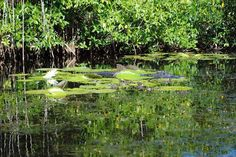 Another for the FL bucket list, alligators in the Everglades