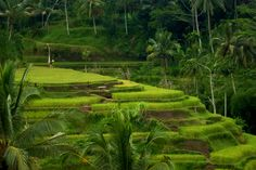 The famous rice terraces of Tegalalang, Ubud, Bali