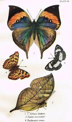 "Kirby Butterflies - ""KILLIMA HUTTONI - PLATE XX"" - Chromolithograph - 1896"