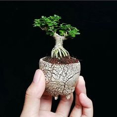 The upright styles in bonsai are one of the most popular and easy styles for beginners. Learn all about the two main upright styles in bonsai growing. Succulent Bonsai, Terrarium Plants, Bonsai Plants, Bonsai Garden, Mame Bonsai, Bonsai Tree Care, Bonsai Trees, Miniature Plants, Miniature Gardens