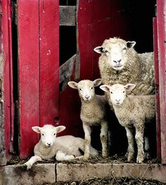 Family of sheep in West Virginia Farm Animals, Animals And Pets, Cute Animals, Sheep Art, Sheep And Lamb, All Gods Creatures, Animal Paintings, Belle Photo, Pet Birds