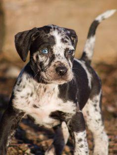 Best Dog Breeds, Large Dog Breeds, Best Dogs, Hog Dog, Dog Cat, Catahoula Cur, Designer Dogs Breeds, Hypoallergenic Dog Breed, Beautiful Dog Breeds