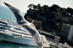 #Rocher Möve über Monacos Yachthafen ☀️ #seagull #birdsofinstagram #flying#over#yachts #monaco#2016#sunlight #bird#nice#shoot#wings #cotedazur #frenchriviera by lenyo__ from #Montecarlo #Monaco