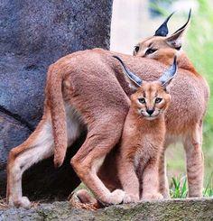 Caracal mother & her kitten Baby Caracal, Caracal Cat, Pumas, Beautiful Cats, Animals Beautiful, Exotic Cats, Exotic Animals, Exotic Birds, Wild Dogs