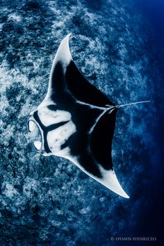 "Images of animals that will be featured in the event ""Projecting Change: The E. - Images of animals that will be featured in the event ""Projecting Change: The Empire State Buildin - Underwater Creatures, Underwater World, Underwater Animals, Beautiful Sea Creatures, Animals Beautiful, Manta Ray Tattoos, Animals Tattoo, Photo D Art, Delphine"