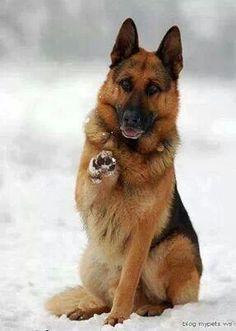 German Shepherd Hii cute dog! Do You want to Play something? 😋🐶♥️♥️