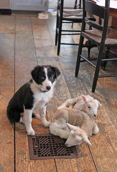 'On the job'...even in the kitchen. Border Collie puppy and lambs.