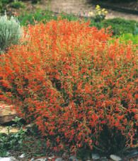 Pineleaf Penstemon- Easy to grow. Blooms in summer. Attracts butterflies and hummingbirds. Full sun.