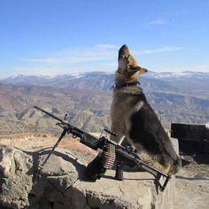German Shepherd Military War K9 Hero! God Bless & Protect you cutie!