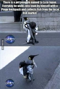 The penguin's owner puts the back pack on him and he waddles to the fish market. The vendors at the market see him and put fish in his back pack and then he goes back home. Penguin Love, Cute Penguins, King Penguin, Baby Animals, Funny Animals, Cute Animals, Arctic Animals, Animal Pictures, Penguin