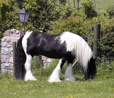 The Producer-Gypsy Vanner stallion
