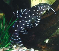 Synodontis Angelicus: Synodontis angelicus (also known as Polka-dot Synodontis) belongs to the Family Mochocidae (Naked Catfishes). Its adult size (30 cm) makes it ideal for larger tanks with sand bottom and rock caves. It is characterized by the white spots on an overly black body. The tail has black bars on a transparent background. A nocturnal species which, unlike Synodontis decorus is not seen very often during the day.