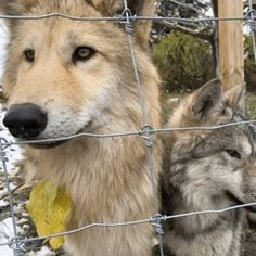 """"""" Wolf dog pups at Yamnuska Wolfdog Sanctuary """" I met Grizz (left) when he was only two weeks old. He has grown so much! Cute Little Animals, Cute Funny Animals, Cute Dogs, Cute Creatures, Beautiful Creatures, Animals Beautiful, Wolf Hybrid, Saarloos, Dog Breeds List"""