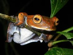"""Frog practicing on the """"high bar"""" for the 2012 Frog Olympics."""