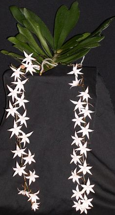 Aerangis biloba – Clown Alley Orchids