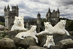 Andrew Fladeboe, Pride of White Lions, 2011, Large Scale Photograph
