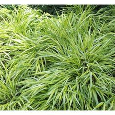 Carex morrowii 'Variegata': This Acorus looks perky and bright in the winter which I GREATLY appreciate on a cold, wet day. Chinese Garden, Landscaping Plants, Lemon Grass, Light Shades, Herbs, Backyard, Landscape, Outdoor, Gardens