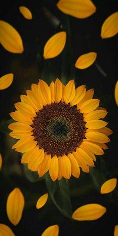 Sunflower Iphone Wallpaper, Iphone Wallpaper Vsco, Flower Phone Wallpaper, Iphone Background Wallpaper, Look Wallpaper, Nature Wallpaper, Beautiful Flowers Wallpapers, Cute Wallpapers, Vintage Floral Wallpapers