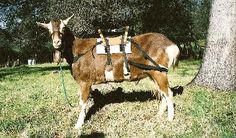 Butt-Head Pack Goats.  This is the he ultimate pack goat saddle! Butt-Head Pack Goats has the best equipment!