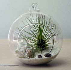 Hanging air plant terrarium in small orb with Tillandsia Filifolia, white sand, and shells. Etsy.