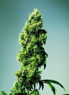 Official Sensi catalogue image of Four Way. This is a truly old-school hybrid, one of the first successful attempts to create a reliable multiple hybrid. By combining stable Indica cultivars from India, Afghanistan and Pakistan with the vigour and high-octane punch of Skunk #1, this remarkably potent hybrid was created, and has remained unchanged for around 25 years!  http://sensiseeds.com/cannabis-seeds/sensi-seeds/four-way