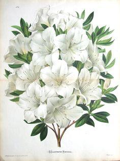AZALEA MADAME GLONER Double Size Antique Botanical Flower Print c1880