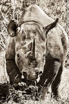 """""""Black Rhino Charge.""""                                  By: Timothy Griesel Photography. www.timothygriesel.co.za (If you would like to buy prints.)"""