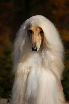 best images, photos and pictures ideas about afghan hound dog - oldest dog breeds Big Dogs, I Love Dogs, Cute Dogs, Dogs And Puppies, Doggies, Beautiful Dogs, Animals Beautiful, Simply Beautiful, Cortes Poodle