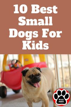 Keeping in mind that dogs don't come with guarantees and any dog needs training, here are 10 small dog breeds that do well with kids. Small Dogs For Kids, Best Small Dogs, Large Dogs, Dog Breeds That Dont Shed, Best Dog Breeds, Large Dog Breeds, Tiny Puppies, Cute Dogs And Puppies, Puppies Tips