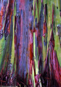 amazing-trees-rainbow-eucalyptus-