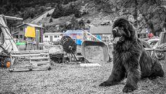 Allan Doyle Quidi Vidi Colour Pop - Colour Pop, Color, Dog Poses, Newfoundland, Wrapped Canvas, Art Prints, Dogs, Travel, Animals