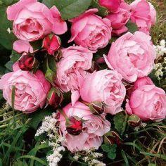 """本日の薔薇"""" ^^ シャンテ ロゼ ミサト[Chant Rose Misato] フランス Delbard作 2004年 大人っぽさと可愛らしさ、そして女性らしさ。歌手の渡辺美里さんへ大野耕生氏が捧げた、想いいっぱいの薔薇です。ライラック色のディープカップの花は、琥珀色を浮かばせつつ、繊細で優しい花姿へと移りゆきます。アニス、ラベンダー、フェンネル、バジルの深い芳香。 花径:8cm 樹高:1.0m 花季:四季咲き その他:香⇒豊かな香り ※京阪園芸ガーデナーズのデルバ-ル ロ-ズはこちらから→ http://www.keihan-engei-gardeners.com/fs/keihangn/c/delbard"""