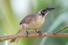 helmeted friarbird - Google Search