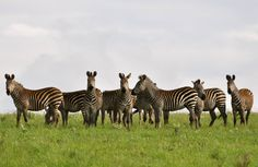 Zebras in the clouds, Nyika Mountain.