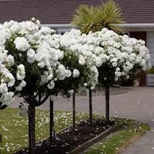 white iceburg roses garden - Google Search