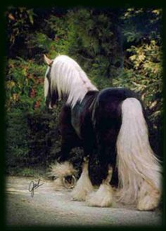 Gypsy horse, black body with white mane, tail, and feathers.