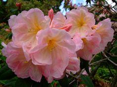 https://flic.kr/p/E9z6Wx | Rhododendron | www.youtube.com/user/yewmchan/videos