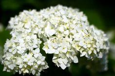 "Hardy hydrangea arborescens ""Annabelle"""
