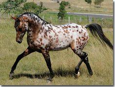 """""""Spot"""" - Appaloosa Arabian Stallion Arab X Appaloosa"""